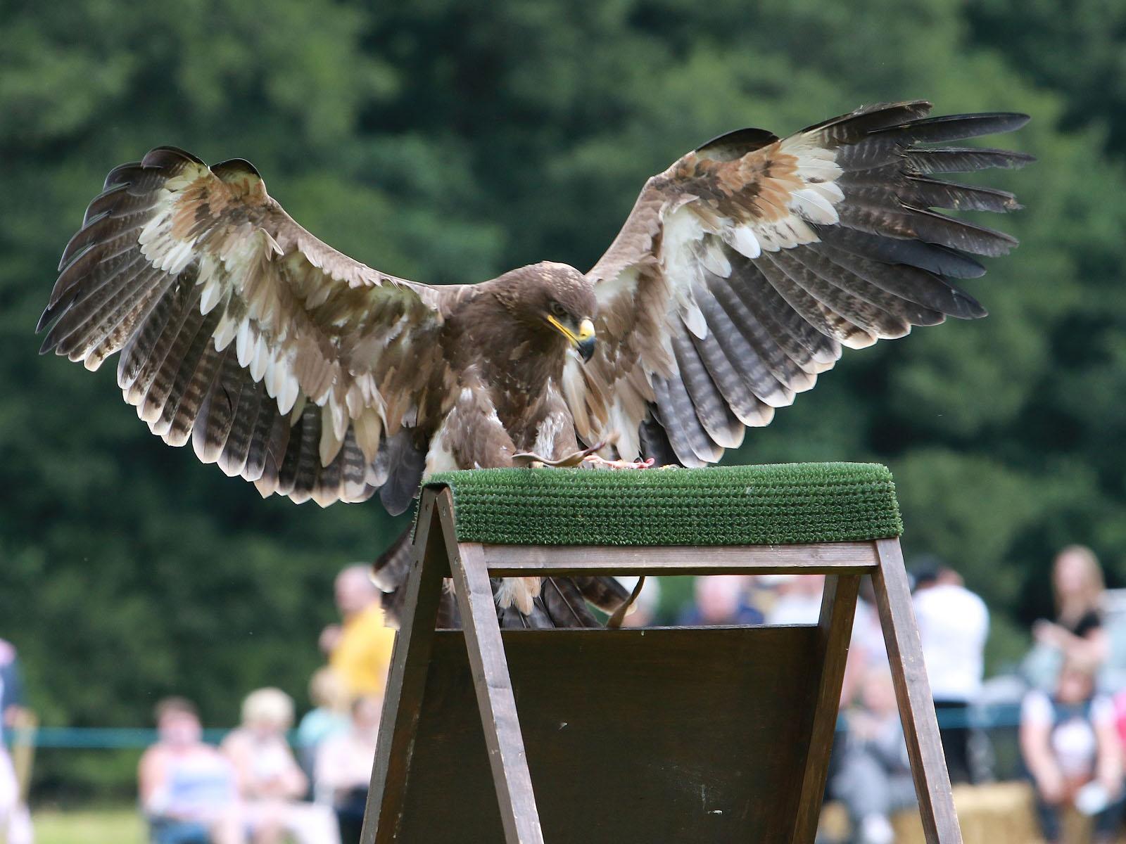 Falconry Displays