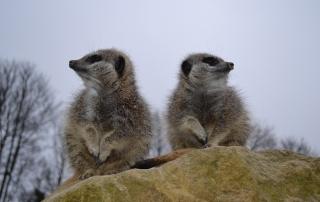 meerkatpic