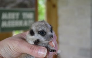 baby-meerkat-in-hand
