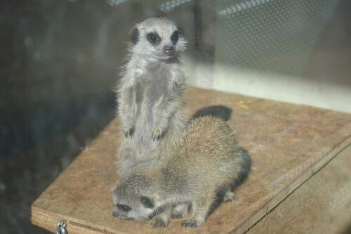 baby-meerkats