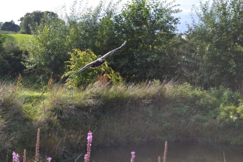 eagle-over-pond
