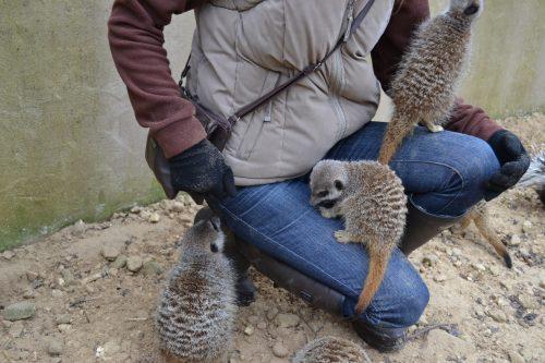 meerkat-experience