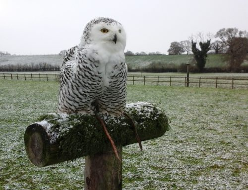 Let it Snow! says Snowy Owl!